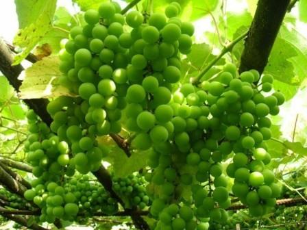 польза зеленого винограда